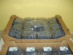 Ekologiczne owoce borówki wysokiej