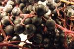 Czarny Bez  Sambucus nigra